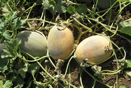 Melons damaged in heat wave